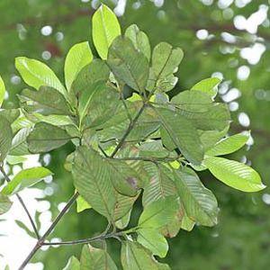 Coleus forskohlii (40 forskolin)