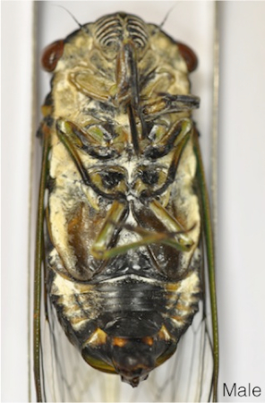 C umbrosa male ventral labelled.jpg