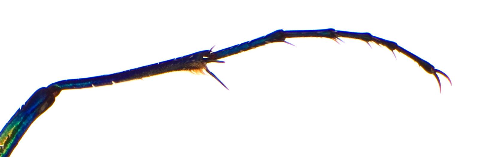 Cic aurulenta F foreleg.jpg