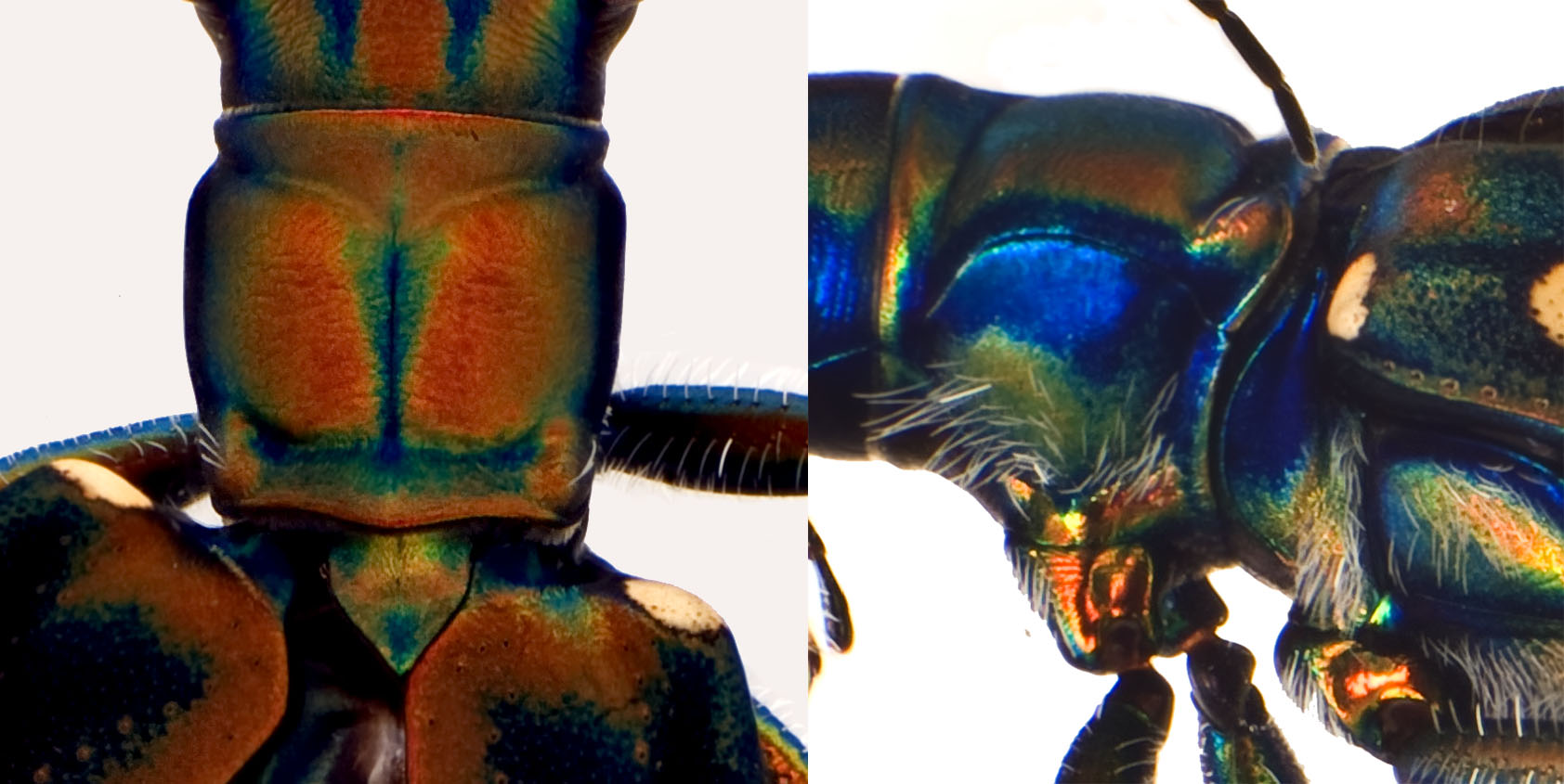 Cic aurulenta M thorax.jpg