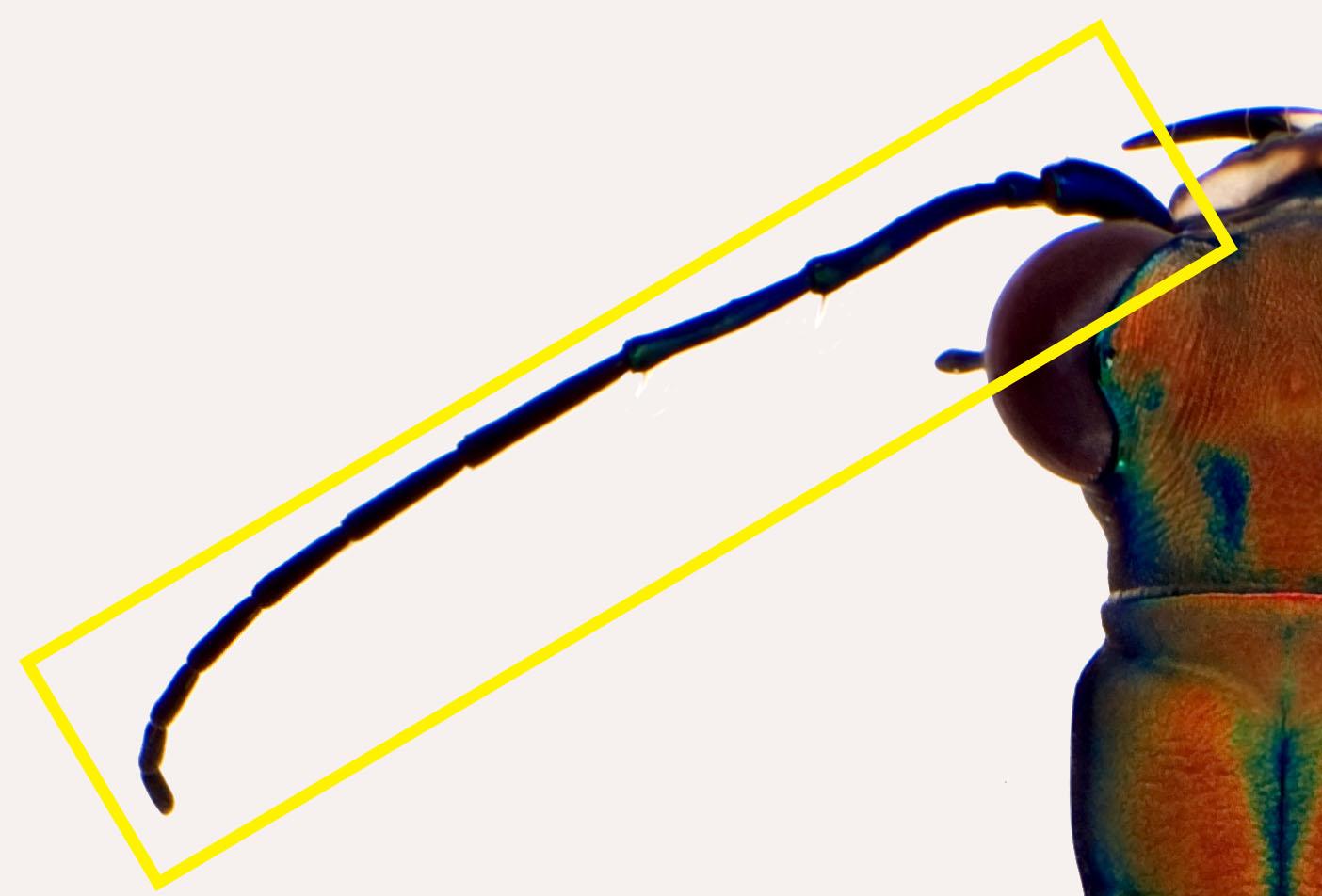 Cic aurulenta antenna.jpg