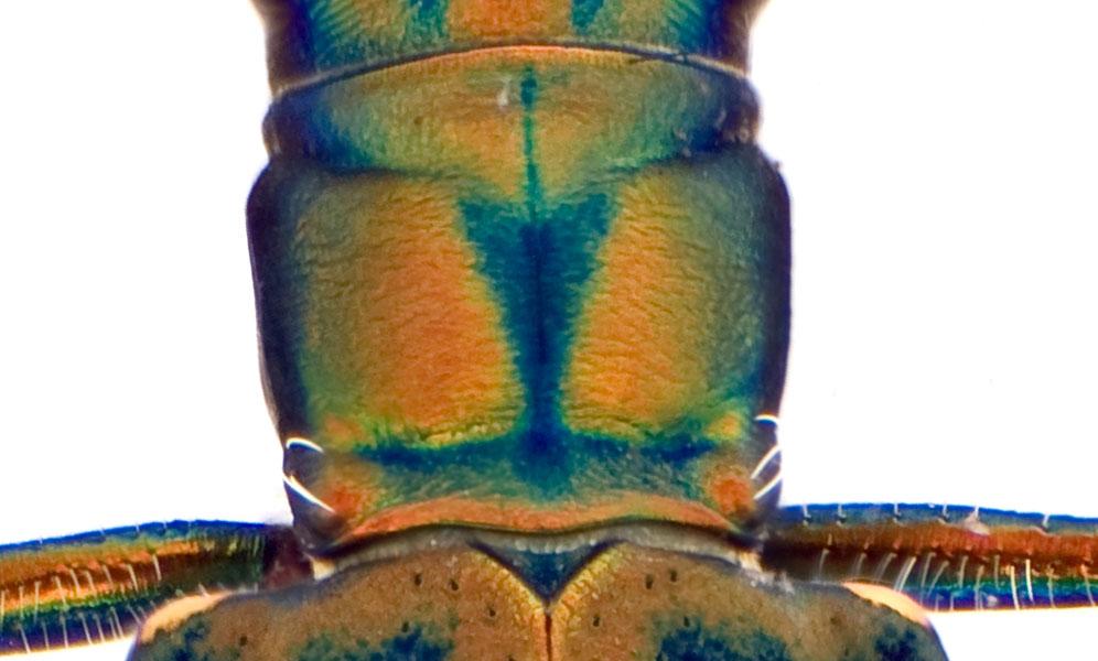 Cic aurulenta thorax.jpg