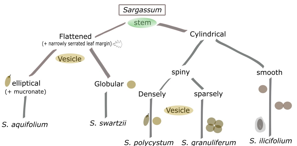 Sargassum polycystum (Fucales: Sargassaceae) Sargassum weed