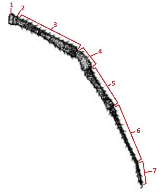 Np. pilipes (illustration-legIII).jpg