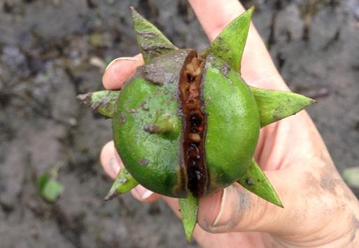 Sonneratia alba (Myrtales: Sonneratiaceae) Mangrove Apple