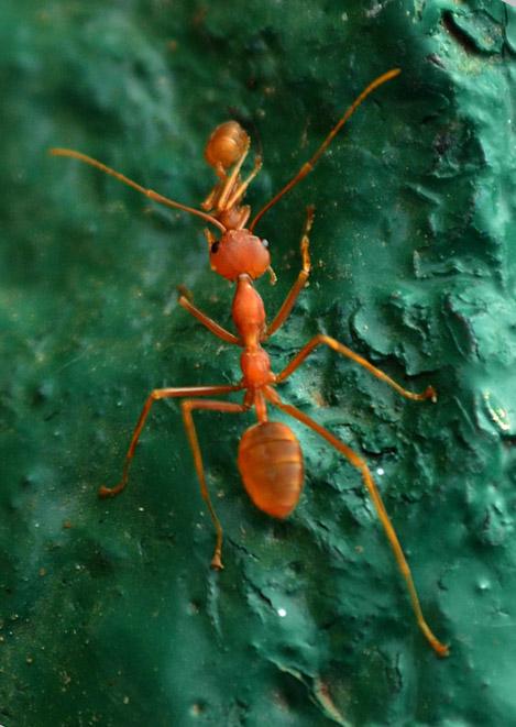 ant weaver.jpg